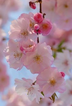 Queen Takes Knight Cherry Blossom Tree, Blossom Trees, Blossom Flower, Pastel Flowers, Flowers Nature, Pretty Flowers, Flower Phone Wallpaper, Iphone Wallpaper, Beautiful Flowers Wallpapers