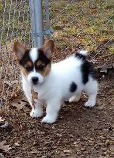 'Leaves are to chew on' - Hunde❤️ - Perros Graciosos Cute Corgi Puppy, Welsh Corgi Puppies, Cute Dogs And Puppies, Baby Dogs, Teacup Puppies, Lab Puppies, Shepherd Puppies, Cute Little Animals, Cute Funny Animals