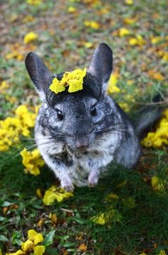 Such a beautiful chinchilla pic.