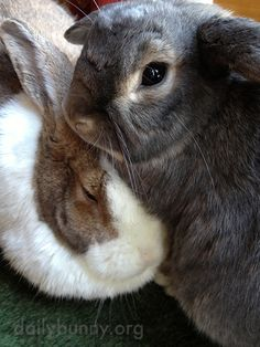 """dailybunny: """" You're Distracting Us from Our Cuddles, Human Thanks, Isla and bunnies Bluebell and Perry! """""""