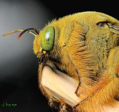 Male Carpenter Bee / Xylocopinae / แมลงภู่ผึ้ง
