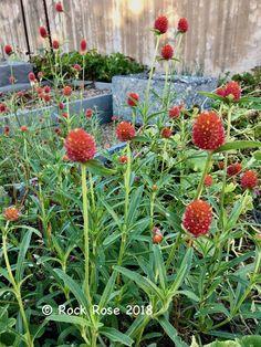 Gomphrena Globosa U0027strawberry Fieldsu0027 Has Bright Red Bracts. | Rock Rose Texas  Gardening