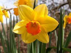 gorgeoue yellow daffodils up close in spring