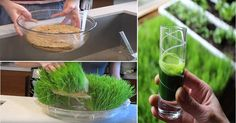Wheatgrass is the latest trend in healthy eating that has people scratching their heads. Wheatgrass is not the same kind of grass that grows on your lawn. Instead, it's the young sprouts of the wheat plant. Surprisingly, these blades of grass contain an incredible amount of nutrients and antioxidants. Wheatgrass is full of nutrients Wheatgrass …