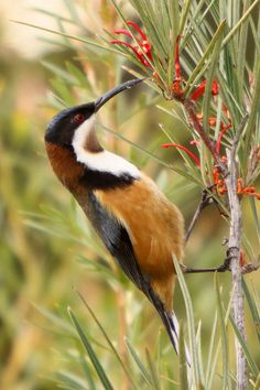Eastern spinebill: species of honeyeater: SE Australia in forest & woodland areas Different Birds, Kinds Of Birds, All Birds, Love Birds, Exotic Birds, Colorful Birds, Pretty Birds, Beautiful Birds, Australian Birds