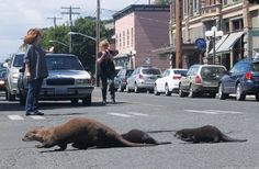 River Otters - Port Townsend, Washington