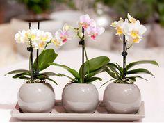 Размножение орхидеи Фаленопсис