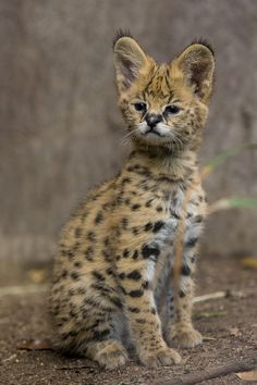 African Serval Kitten Born at San Diego Zoo – Animals Small Wild Cats, Big Cats, Cool Cats, Beautiful Cats, Animals Beautiful, Beautiful Pictures, Kittens Cutest, Cats And Kittens, Siamese Cats