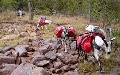 For hauling heavy loads in the backcountry, pack goats provide an easy and affordable alternative to larger animals, and can carry more than you'd expect.