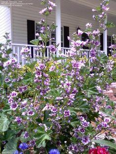 Rock Garden Plants, Cottage Garden Plants, Garden Types, Garden Art, Cottage Gardens, Flowers Nature, Purple Flowers, Wild Flowers, Growing Hollyhocks