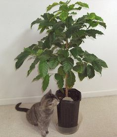 Growing a coffee tree at home