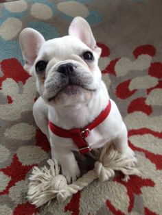 Frenchie puppy wants to play.
