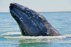 Grey Whale spyhopping at San Ignacio Lagoon
