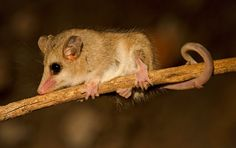 yaca (marmosa elegans) - Buscar con Google Opossum, Adorable Animals, Mammals, Stencil, Flora, Creatures, Google, Beautiful, Forest Animals