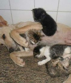 This dog found a box of kittens in the trash. What he did next is amazing. (PHOTOS) » DogHeirs | Where Dogs Are Family « Keywords: kittens, stray dog, cardboard box, Sao Paulo