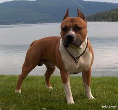The breed information, history, and photos of the American Pit Bull Terrier, also known as the Pit Bull, Pitbull, or Pitt bull dog.