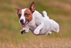 Артист, личность и просто умница - джек рассел терьер | Статьи | Animal.ru Jack Russells, Jumping Jacks, Jack Russell Terrier, Pitbulls, Corgi, Pets, Photograph, Animals, Image