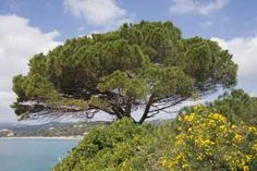 Stone Pine | List of mediterreanean plants. Called a Bible Garden, but equally helpful for the non-devout.