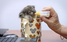 A baby koala sitting in a mug and eating, I have nothing more to add to that..
