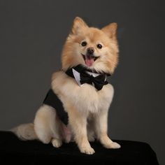 Black Tuxedo Dog Harness With Tails, Bow Tie, and Cotton Collar