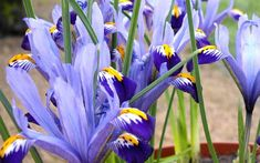 What are the best plants for clay soil? Plants and shrubs for clay soil and shade. Find the best plants full sun and partial shade in clay soil UK Clay Soil Plants, Planting In Clay, Planting Flowers, Winter Plants, Winter Garden, What Is Clay Soil, Growing Irises, Full Sun Plants, Spring Flowering Bulbs