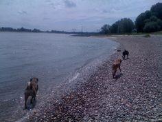 Hundebande mit dem Tiersitter am Rhein in Ilverich / Langst Kierst in Meerbusch