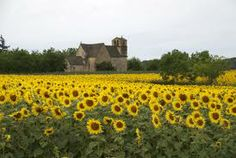 sunflowers in french countryside