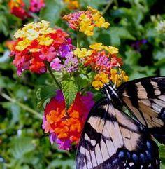 Lanthana attract butterflies