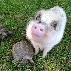 I'm not a male chauvinist pig, I was just trying to try to coax her out of her shell ! Ps her name is Michelle aka My Shell 🐢🐷 Animals And Pets, Baby Animals, Funny Animals, Cute Animals, Cute Creatures, Beautiful Creatures, Animals Beautiful, Cute Piggies, Baby Pigs