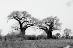 Shadows of Baobab