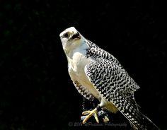 Gyrfalcon - Girfalco (Falco rusticolus)