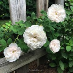 The Garden Diary Plum Flowers, Giant Flowers, Most Beautiful Flowers, Pretty Flowers, Heritage Rose, Cute Asian Babies, Coming Up Roses, White Gardens, Rose Cottage