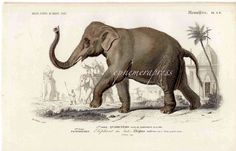 Vintage elephant illustration with intricate details and scenery. Classic and beautiful wall art. Elephant Poster, Elephant Art, Antique Prints, Vintage Prints, Vintage Art, Wild Cat Species, Endangered Species, Elephant Illustration, Medical Illustration