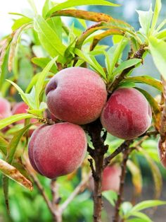 How to prune and train peach trees. The secrets to growing your own peach, nectarine and apricot trees. Fruit Garden, Garden Trees, Edible Garden, Growing Fruit Trees, Growing Grapes, Fruit Trees In Containers, Apricot Tree, Peach Fruit, Peach Trees