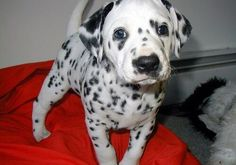 cutest dalmation puppy!