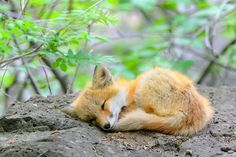 Adorable Little Baby Red Fox Cub Sleeping