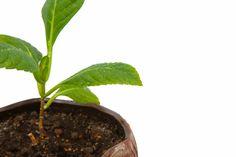 Flori Hortensia – Ingrijire, Inmultire, Plantare Magnolia, Plant, Magnolias