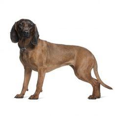 Il Segugio Bavarese è un cane aggressivo nelle operazioni di recupero, ma dotato di grande intelligenza e si dimostra docile e molto legato al suo padrone.