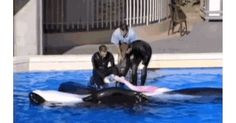 120 Sea World Prison Ideas Sea World Blackfish Orca