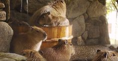 There's Something Oddly Satisfying About Watching These Capybaras Take A Spa Day