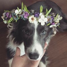 pets and animals Perros Border Collie, Border Collie Puppies, Border Collie Mix, Cute Puppies, Cute Dogs, Dogs And Puppies, Doggies, Animals And Pets, Funny Animals
