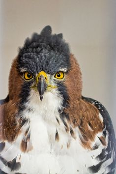 Great composition. This bird means serious business. ornate hawk eagle    (photo by kevin rank)