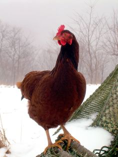 Tips for helping chickens cope through the cold weather.