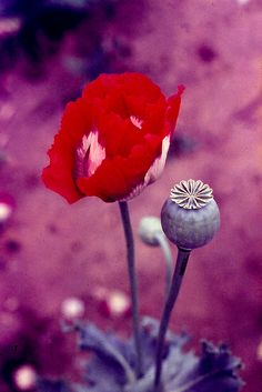 Papaver somniferum. Opium poppy. | Flickr - Photo Sharing!