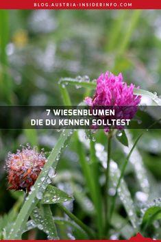 """Nachdem mein erster Artikel zu Frühlingsblumen (7 Frühlingsblumen, die du kennen solltest) dermaßen gut angekommen ist, aber 7 Frühlingsblumen bei weitem nicht erschöpfend sind, ist dieser zweite Artikel entstanden. Mit dem Ziel, dir 7 Wiesenblumen zu zeigen und dich damit noch ein wenig mehr in Richtung """"Blumen-Profi"""" zu hieven. Gras, Austria, Plants, Travel, Europe, Meadow Flowers, Minimalism, Sustainability, Viajes"""