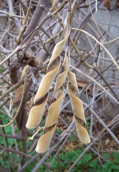 These wisteria seed pods are amazing.