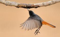 Common redstart in flight