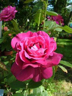 'Intrigue' rose, Floribunda, Warriner USA, 1982