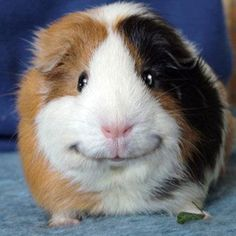 Adorable smiling guinea pig - he just looks so content.yes sir.i am one happy guinea pig! Smiling Animals, Like Animals, Happy Animals, Funny Animals, Small Animals, Smiling Dogs, Farm Animals, Funny Facial Expressions, Guniea Pig