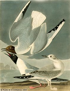 By John James Audubon Bonaparte's Gull (Larus philadelphia, Mouette de Bonaparte), The Birds of America. Audubon Prints, Audubon Birds, Bird Prints, Framed Art Prints, Canvas Prints, Zoo 2, Birds Of America, John James Audubon, Coastal Art